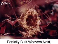 Partial Weaver Nest