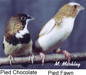 Crested Society Finches