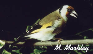 European Goldfinch Male